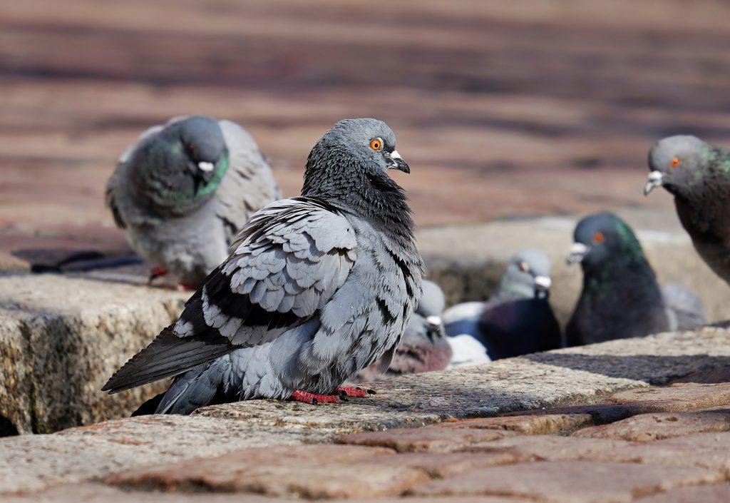 Szkodliwość ptasich odchodów - kolce na ptaki i gołębie