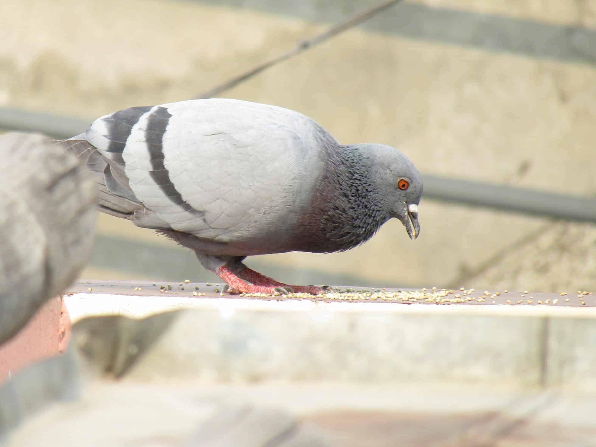 Jak się zabezpieczyć przed gołębiami i ich uciążliwym towarzystwem
