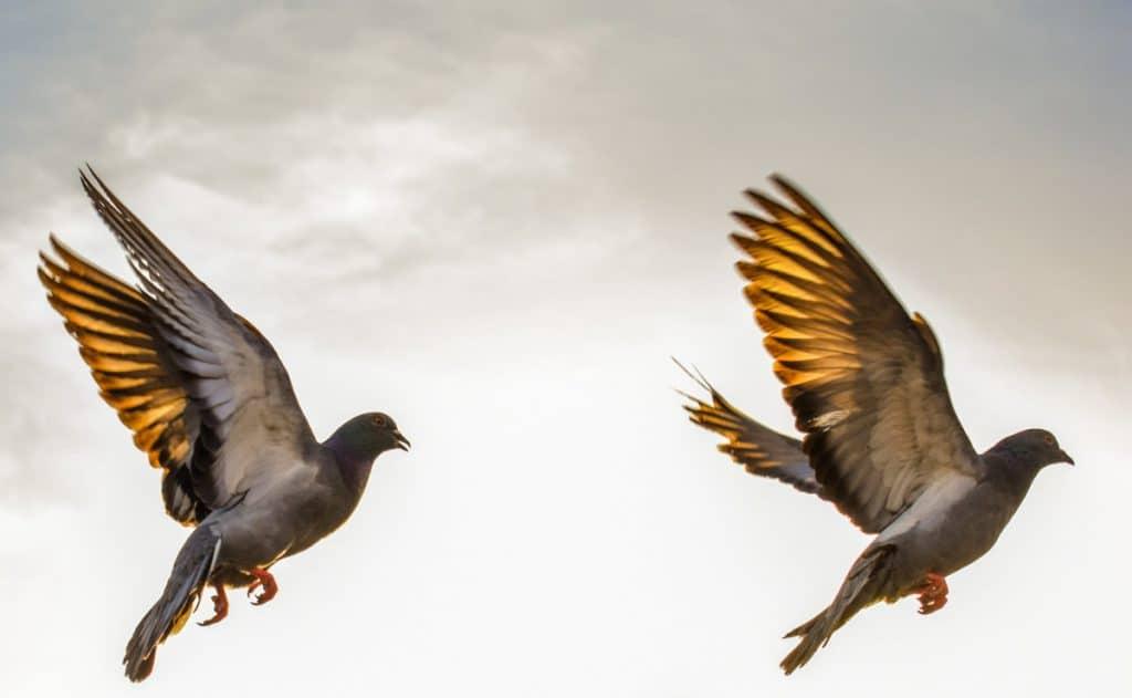 Ptaki tworzą pary w Walentynki