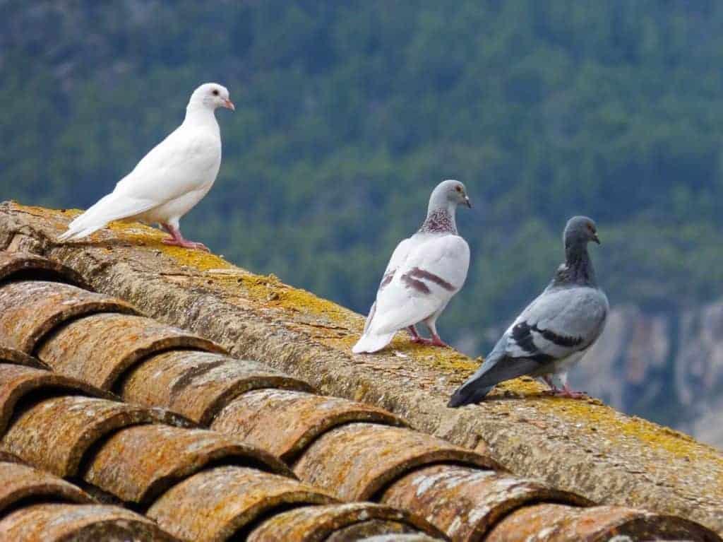 Gołębie przenoszą choroby