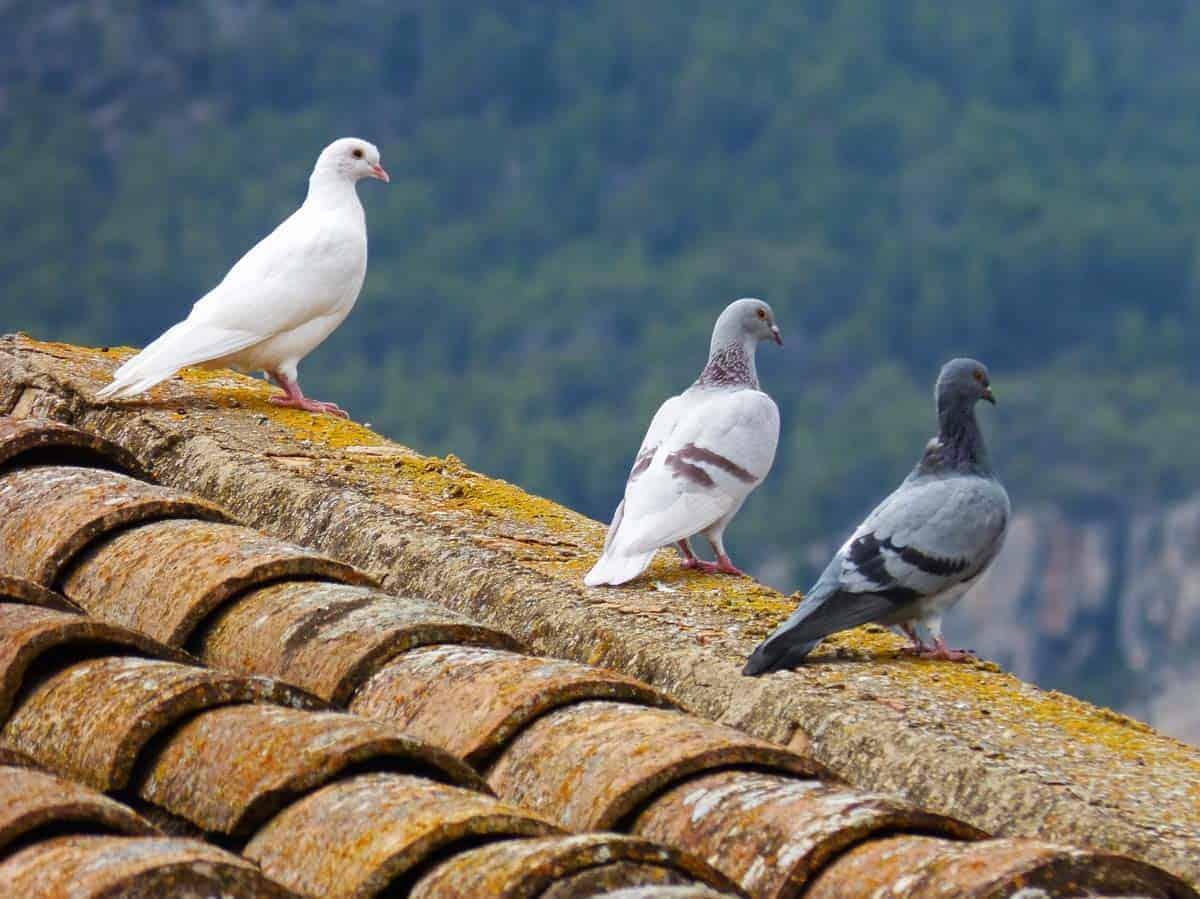 Gołębie - roznosiciele rożnych chorób