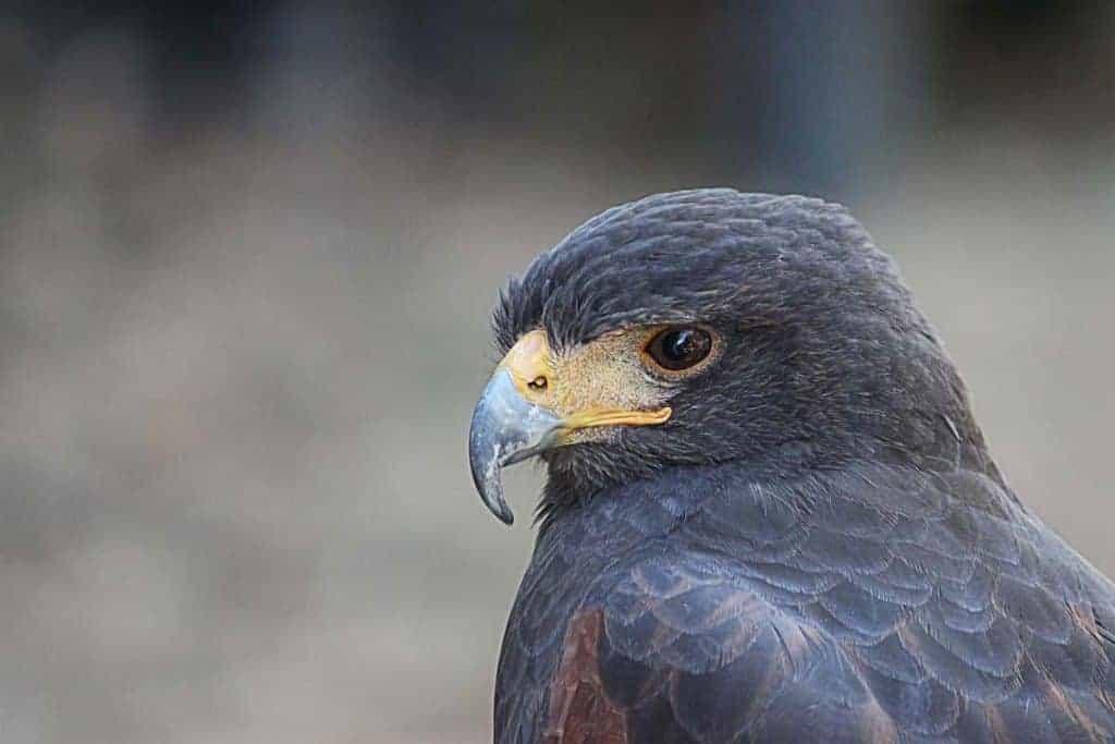 Odstraszane gołębi przy pomocy sokołów